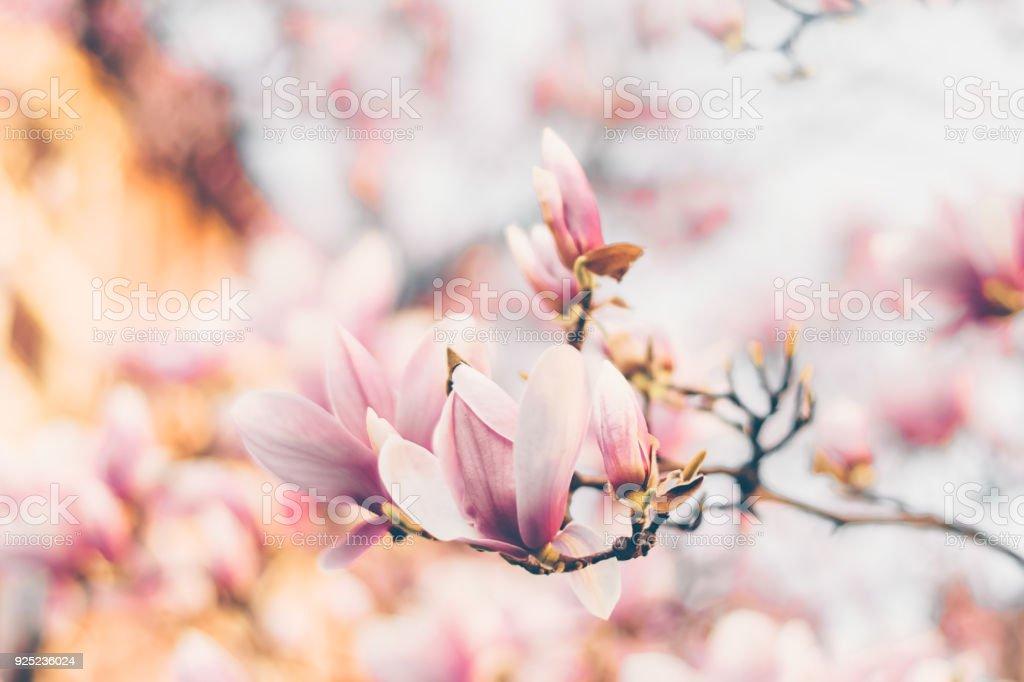 Beautiful magnolia flowers in morning sun. Spring garden stock photo