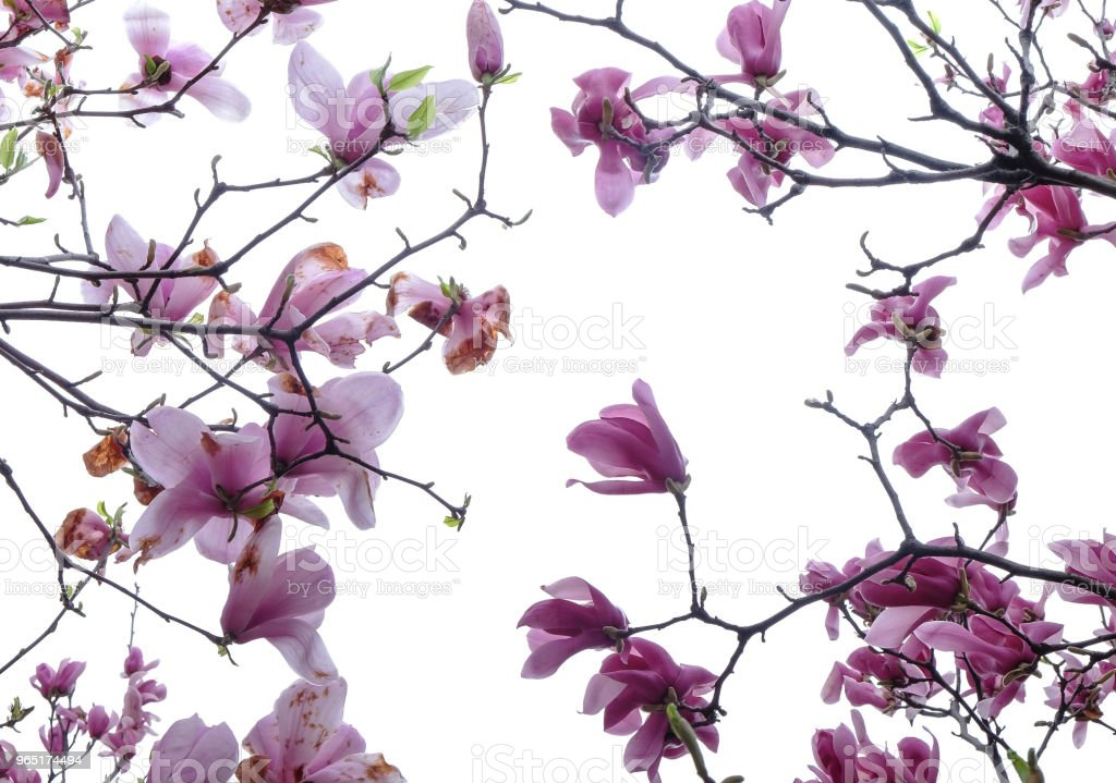 Beautiful magnolia flowers on green background royalty-free stock photo