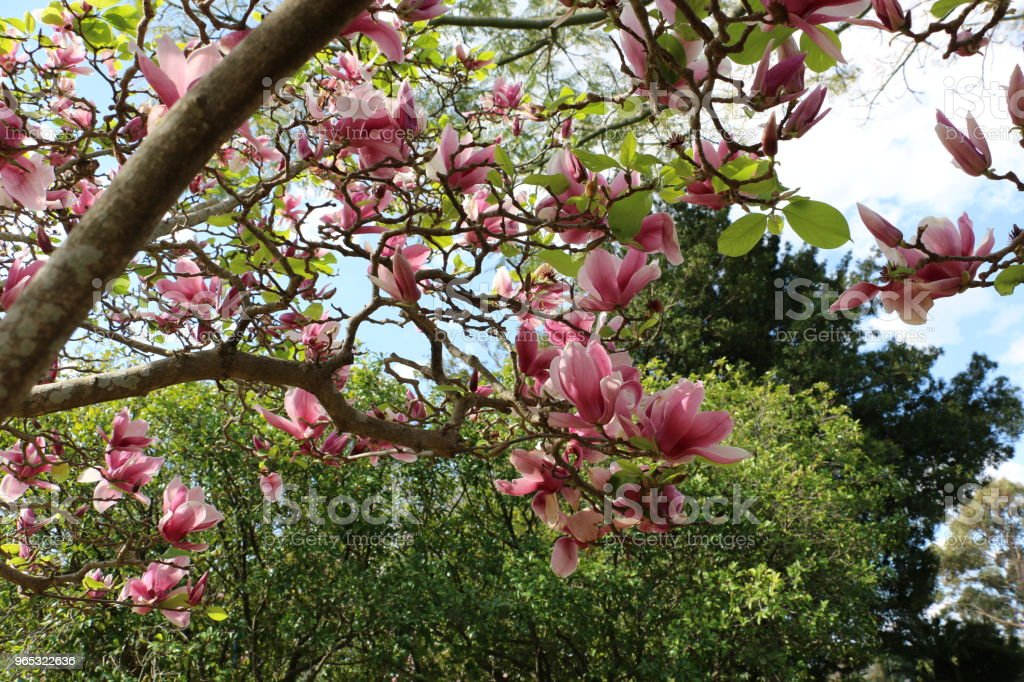 Beautiful Magnolia flowers zbiór zdjęć royalty-free