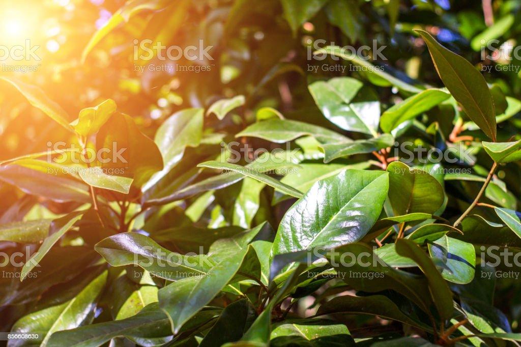Beautiful magnolia tree close-up and rays of the sun stock photo
