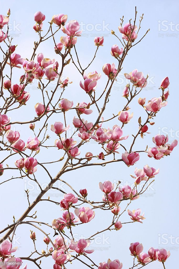 beautiful magnolias royalty-free stock photo