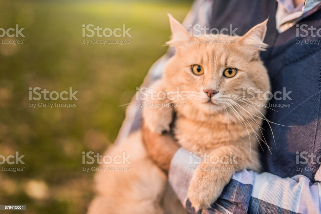 Beautiful Maine Coon cat loves being taken outdoors by his owner. stock photo