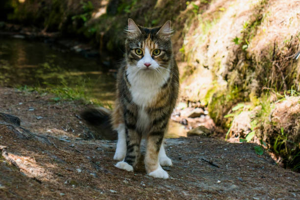 Beautiful Maine Coon Cat Portrait In The Forest Stock Photo & More