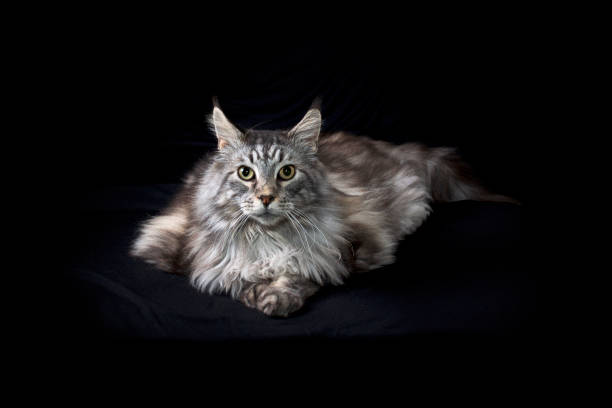 beautiful maine coon cat portrait on black background looking at viewer stock photo