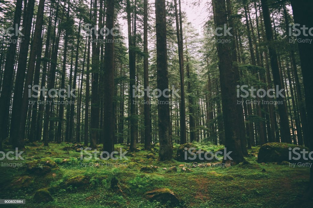 beautiful majestic trees and moss growing in Indian Himalayas, Manali stock photo