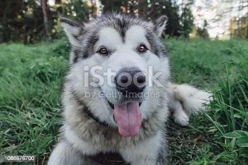 Malamute, Dog, Eskimo Dog, Meadow, Purebred Dog, Russia, Karelia