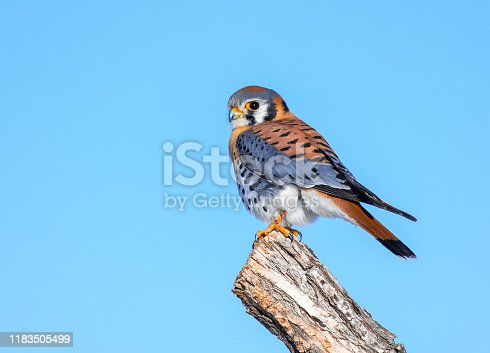 A Colorful Male American Kestrel Perched on a Branch