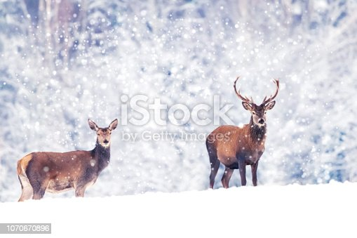 istock Beautiful male and female noble deer in the snowy white forest. Artistic Christmas winter image. Winter wonderland. 1070670896