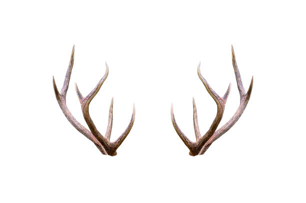 Beautiful male antler isolated on white background Beautiful male antler isolated on white background horned stock pictures, royalty-free photos & images