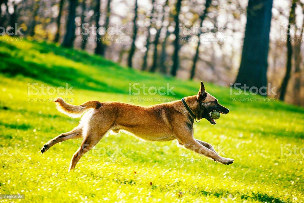 Beautiful male Belgian Malinois - Belgian Shepherd stock photo