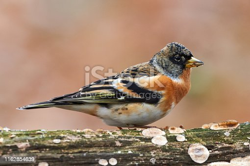 Colorful male brambling (Fringilla montifringilla), perched on a log and photographed in profile.