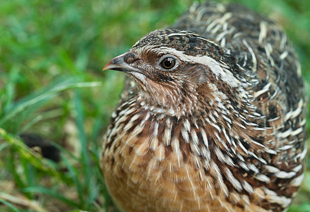magnifique mâle common quail (coturnix coturn.) - colin photos et images de collection