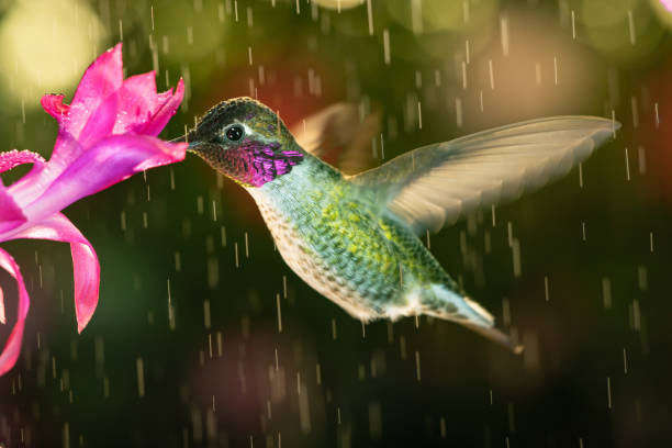 A beautiful male hummingbird visiting pink flower in rainy day stock photo