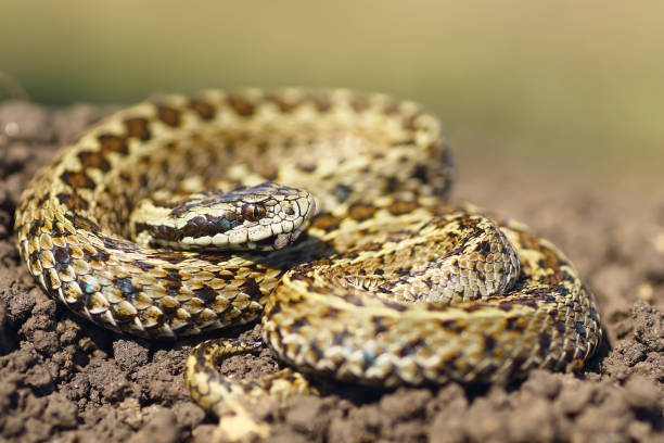 beautiful male hungarian meadow viper ready to attack - snake strike stock photos and pictures