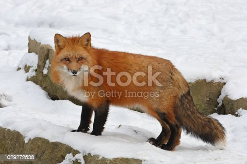 Beautiful male red fox standing in deep snow.