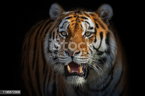 Beautiful male siberian tiger standing in front of a dark background.