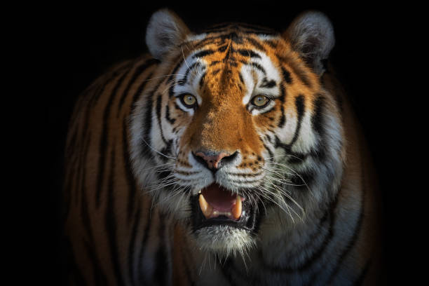 beautiful male siberian tiger - big cat stock pictures, royalty-free photos & images