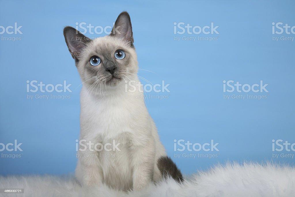 Beautiful male Thai cat on fur stock photo