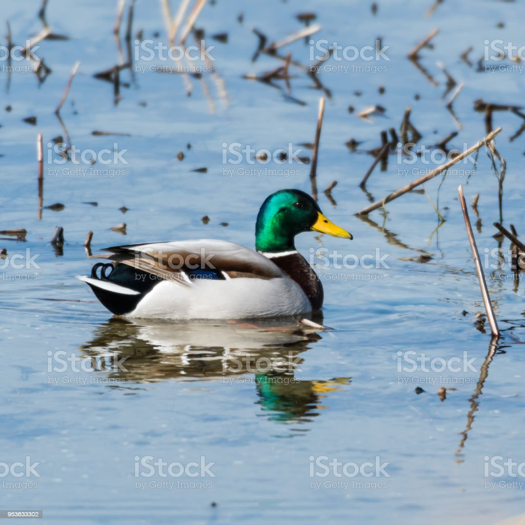 Beautiful mallard in natural habitat stock photo
