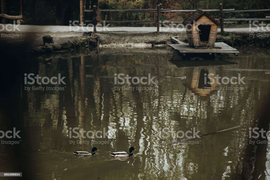 Beautiful mallards swimming in scandinavian national wildlife park pond, wild ducks swimming in a lake, house in the background, nature preservation concept zbiór zdjęć royalty-free