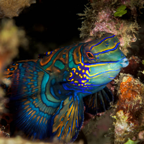 beautiful mandarinfish fish stock photo