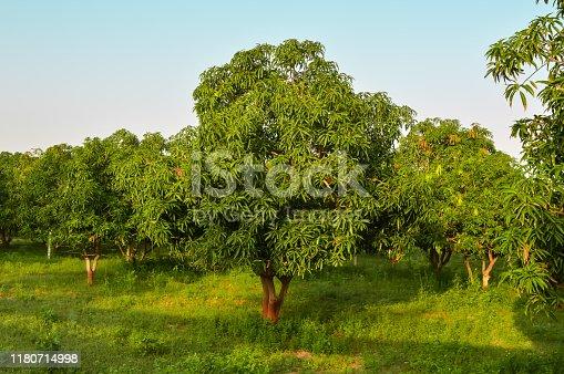 mango tree and mango garden,mango  tree