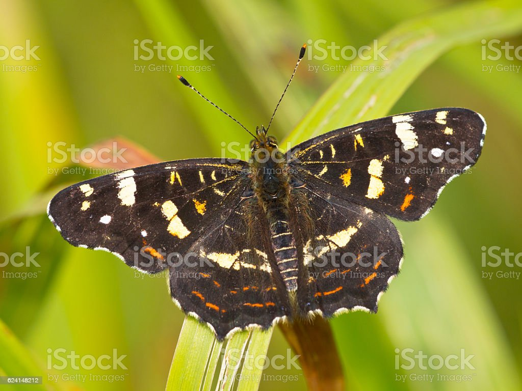 Beautiful map butterfly is resting on grass in the sun stock photo