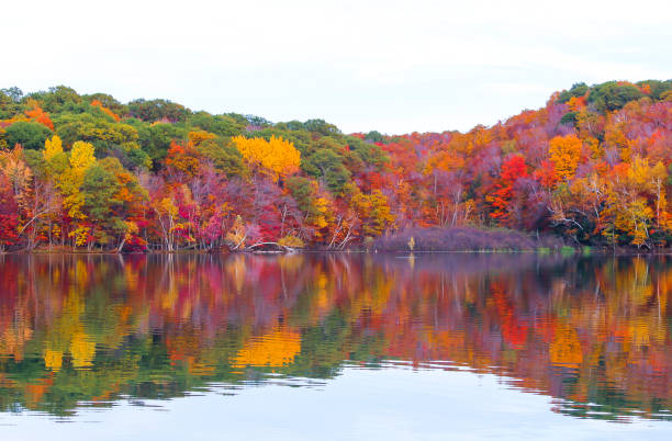 beautiful maple forest by the lake - deciduous stock pictures, royalty-free photos & images