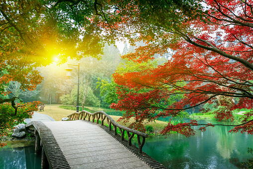 istock Beautiful maple leaves and Small bridge in the Chinese garden 502223656