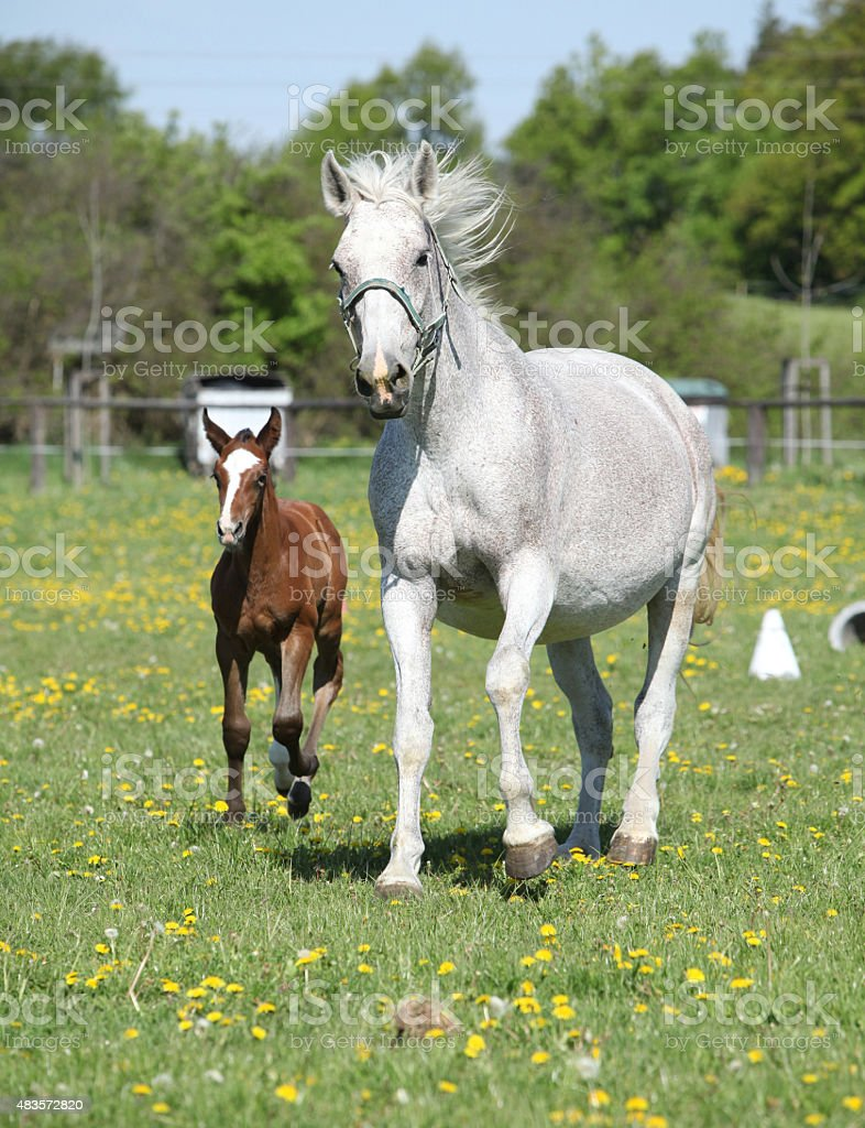 Beautiful mare running with its foal stock photo