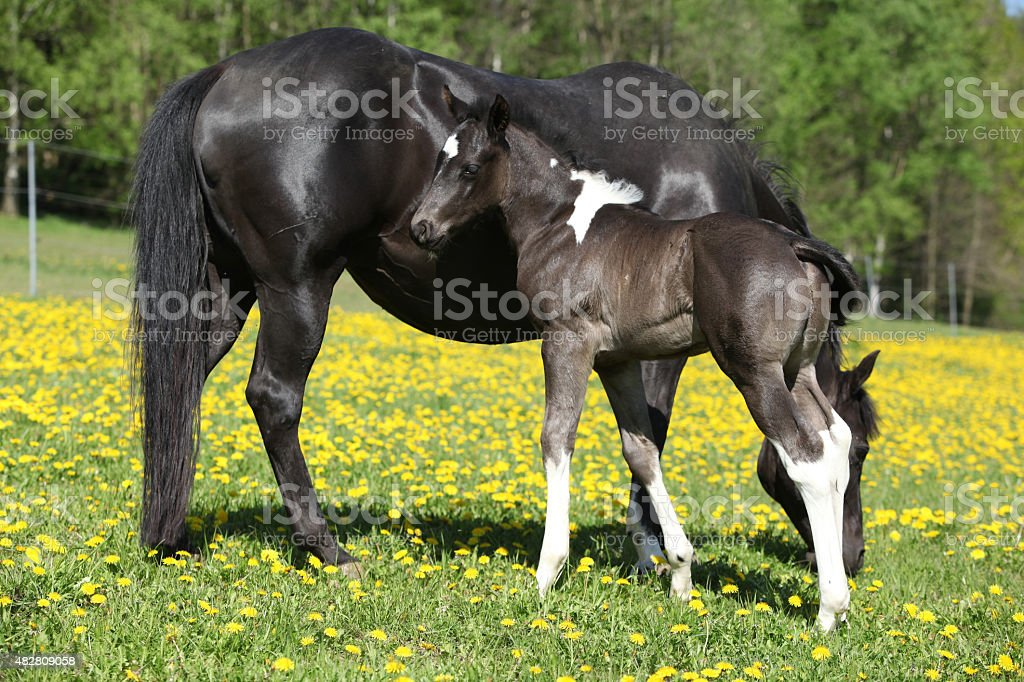 Beautiful mare with little foal on spring pasturage stock photo