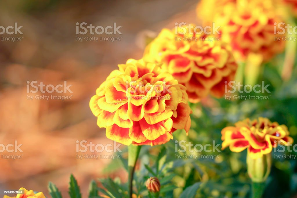beautiful marigold flowers in the garden stock photo