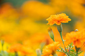 istock beautiful marigolds flowers bloom in the garden nature background. (Tagetes erecta, Mexican marigold, African marigold) 1227280949