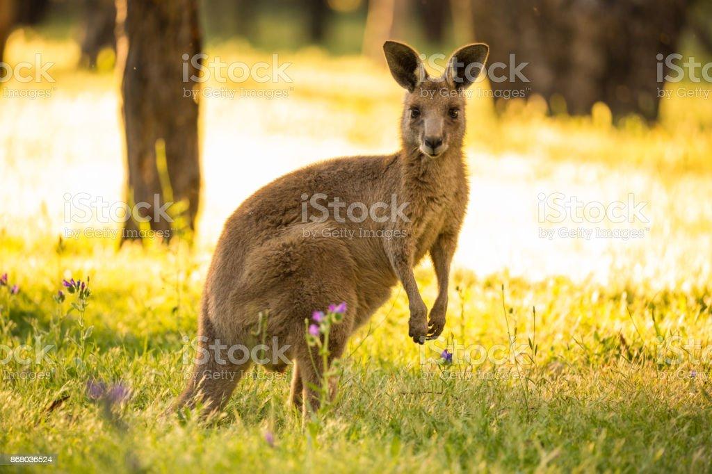 Beautiful Marsupial Australian Eastern Grey Kangaroo bathes in the afternoon light stock photo