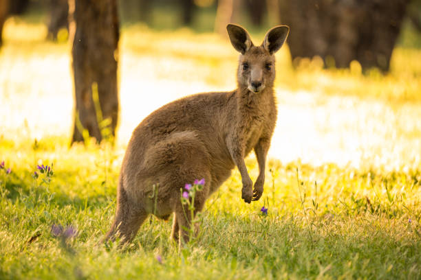 beautiful marsupial australian eastern grey kangaroo bathes in the afternoon light - wildlife reserve stock pictures, royalty-free photos & images