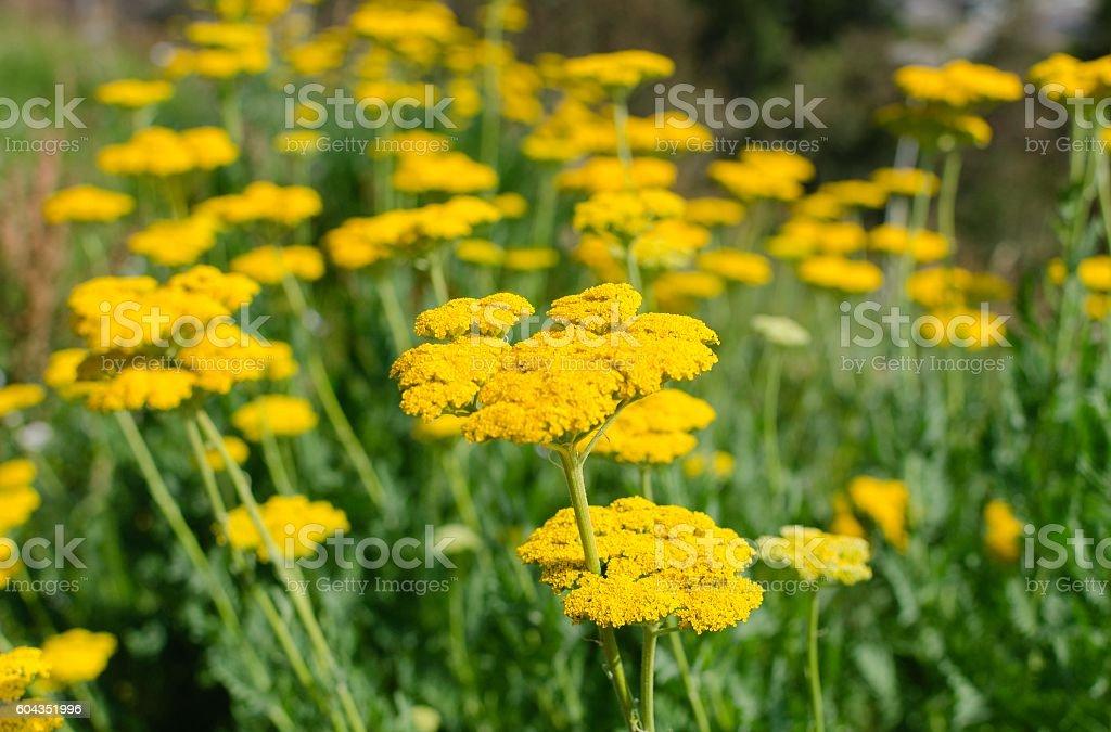 Beautiful Meadow of Yarrow in Colorado stock photo