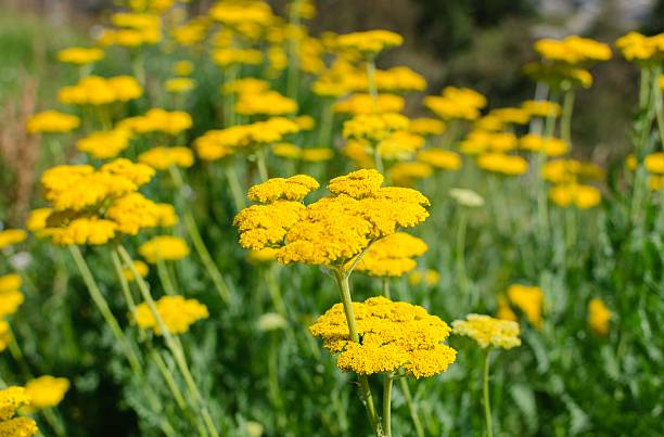 Beautiful Meadow of Yarrow in Colorado Beautiful meadow of yellow Yarrow wildflowers. Taken in Avon Colorado near Vail in summer. Selective focus on foreground. avon colorado stock pictures, royalty-free photos & images