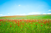 Beautiful meadow with red poppies landscape. Tuscany, Italy, Europe