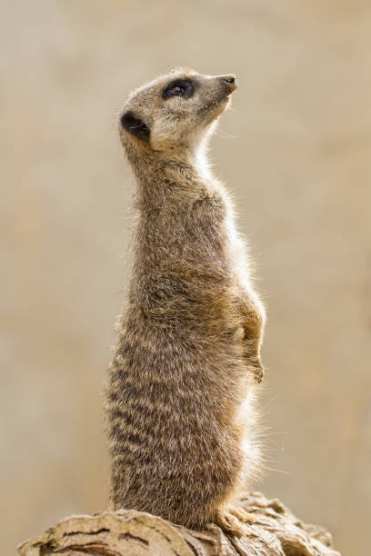 Beautiful Meerkat (suricate suricatta) Portrait with clean background stock photo