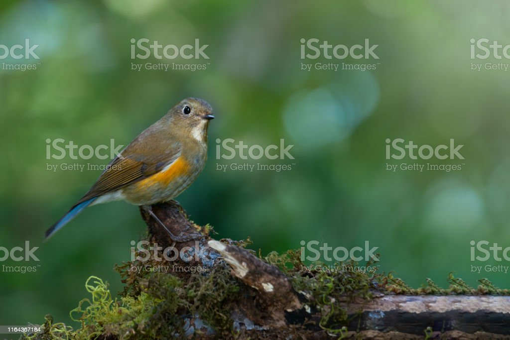 Himalayan bluetail or Himalayan red-flanked bush-robin or...