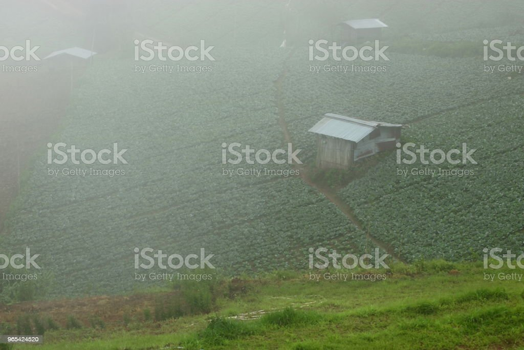 Beautiful misty over cabbage farm on the mountain royalty-free stock photo