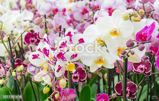 Beautiful mix soft pink and violet or Phalaenopsis or Moth dendrobium orchid,tropical flower with small petals , plant growing and blooming in green house in spring season to show to tourist, love concept