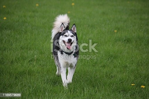 active mixed husky dog in the park