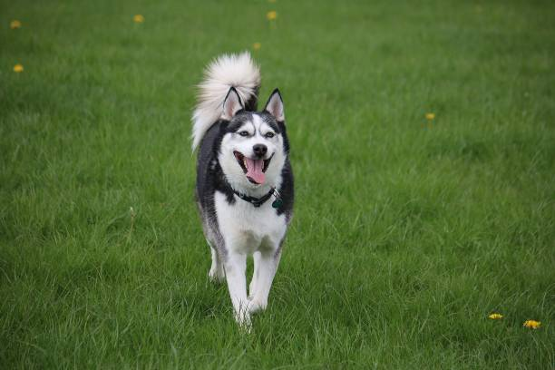 beautiful mixed husky dog is running in the garden active mixed husky dog in the park husky dog stock pictures, royalty-free photos & images