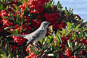 Beautiful grey white and black Mockingbird in red berry plant overlooking the ocean