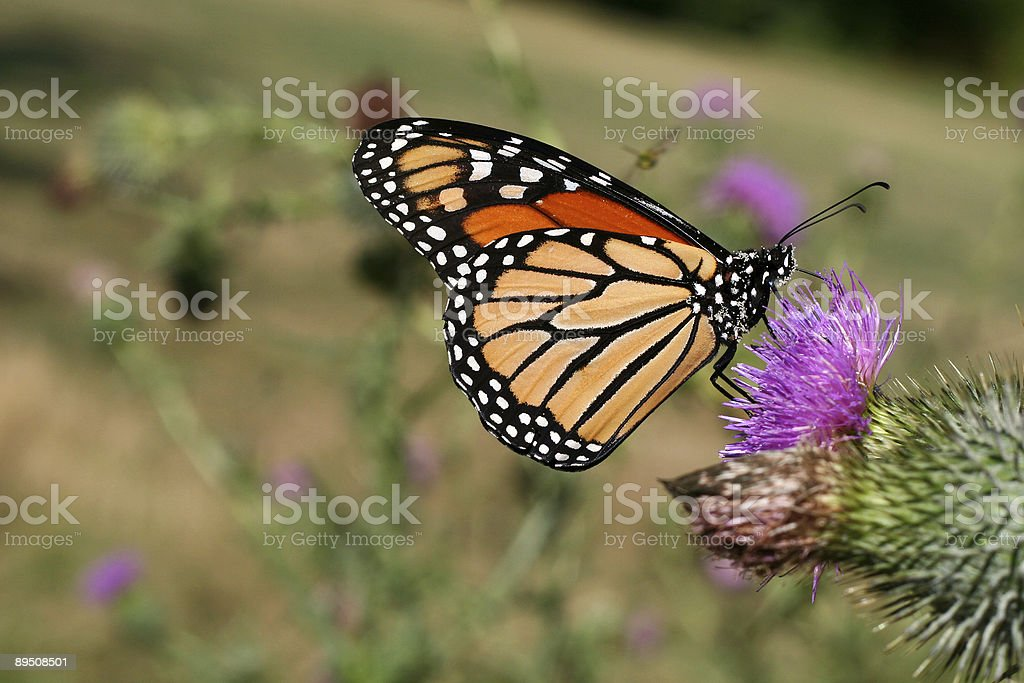 Beautiful monarch butterfly close-up royalty-free stock photo