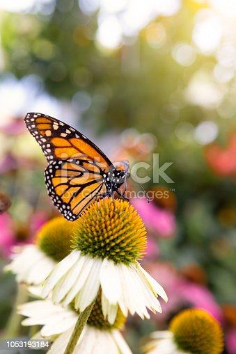 A beautiful monarch butterfly resting on a white and yellow cone flower.