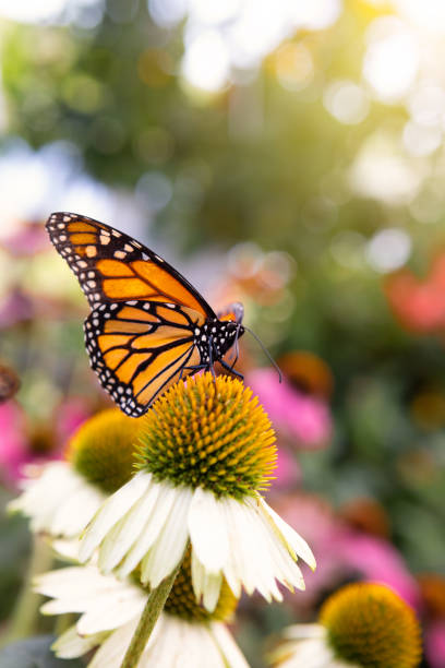 Beautiful monarch butterfly on cone flower picture id1053193184?b=1&k=6&m=1053193184&s=612x612&w=0&h=ke2uj5bnnyoymghsvvyycer6cbeua1bndwxaljwm1mq=