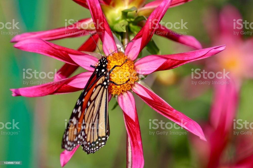 Fotografía de Hermosa Mariposa Monarca Sobre Dahlia Rojo Con Colores ...