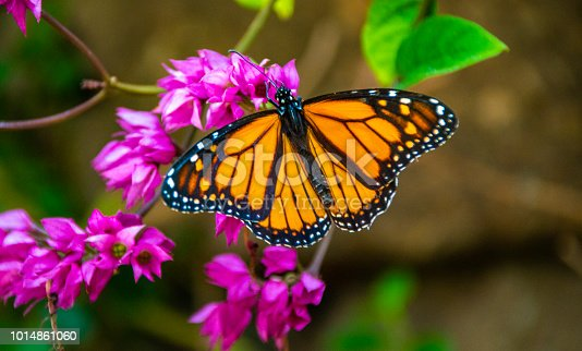 Beautiful monarch butterfly on the purple plant close up open wings daytime